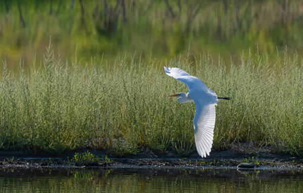 Photograph - Great White Egret 4 by Rick Mosher