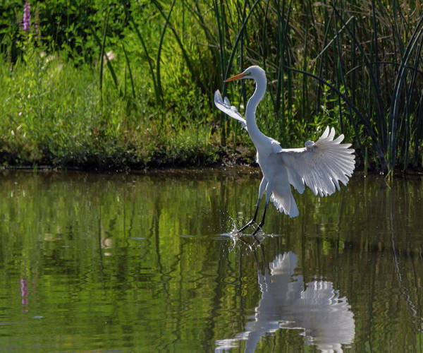 Photograph - Great White Egret 5 by Rick Mosher