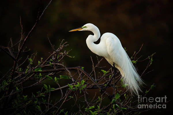 Wall Art - Photograph - Great White Egret At Twilight by Sabrina L Ryan