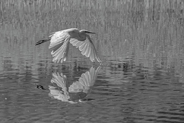 Photograph - Great White Egret Bw 1 by Rick Mosher