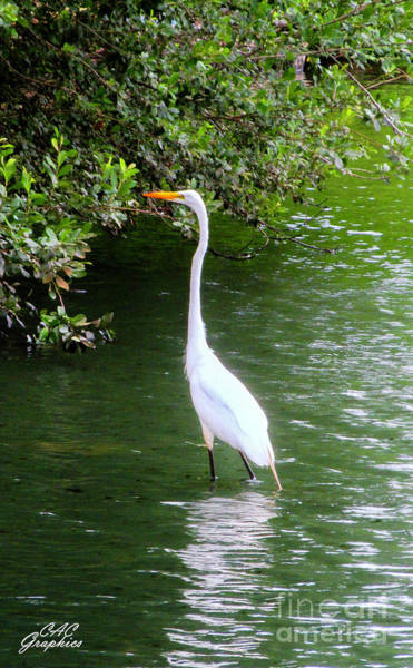 Photograph - Great White Egret by CAC Graphics