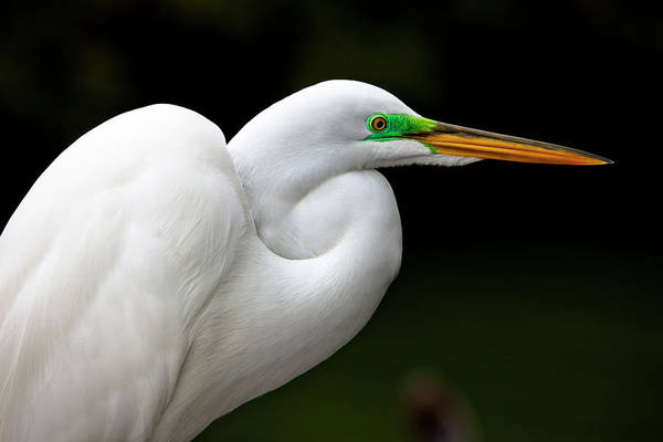 The Great Outdoors Photograph - Great White Egret by Chris Stein