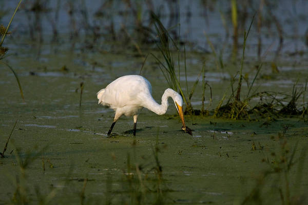 Wall Art - Photograph - Great-white Egret Hunting by David Hosking
