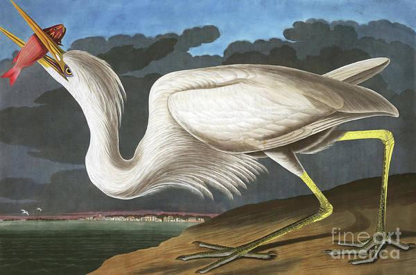 Wall Art - Painting - Great White Heron, Ardea Occidentalis By Audubon by John James Audubon