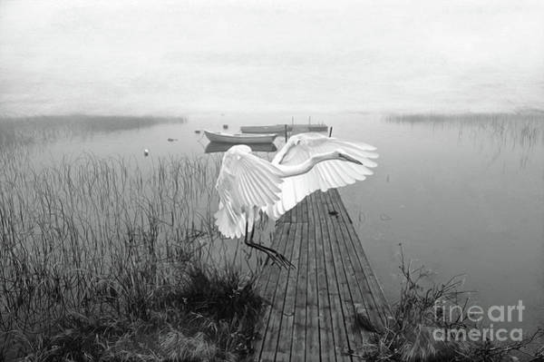Great Egret Photograph - Great White Heron Landing Bw by Laura D Young