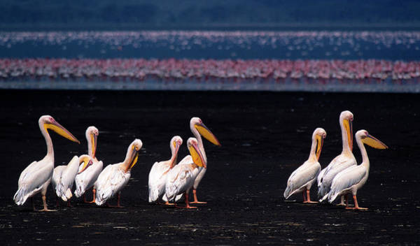 Pelican Wall Art - Photograph - Great White Pelicans by Vittorio Ricci - Italy