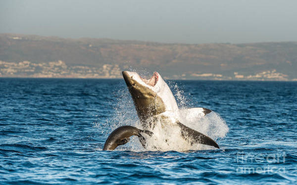 Attack Wall Art - Photograph - Great White Shark  Carcharodon by Sergey Uryadnikov