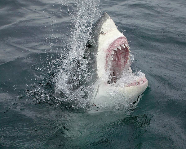The Great Outdoors Photograph - Great White Shark Emerging From The by Stephen Frink