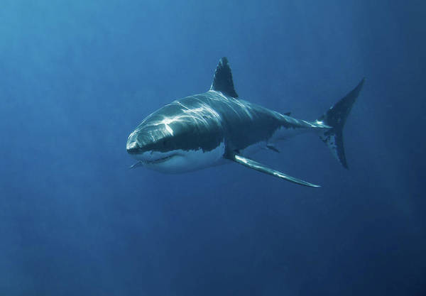Island Photograph - Great White Shark by John White Photos