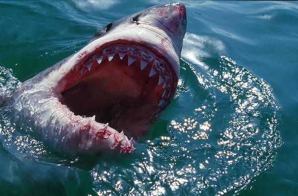Wall Art - Photograph - Great White Shark, Near Gansbaii, South by Stuart Westmorland