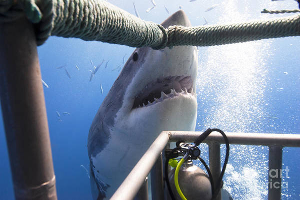 Wall Art - Photograph - Great White Shark Showing Its Teeth In by Visiondive