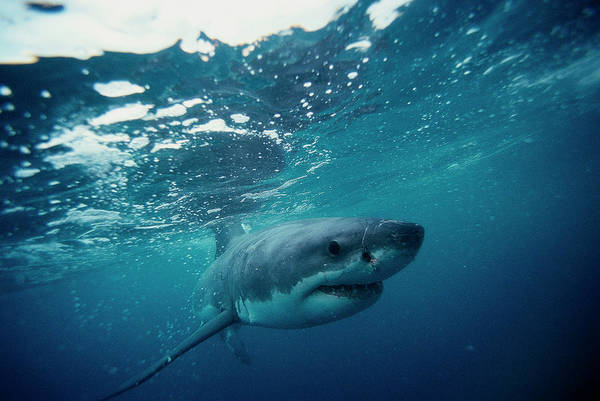 Bleached Photograph - Great White Shark, South Africa by Stuart Westmorland