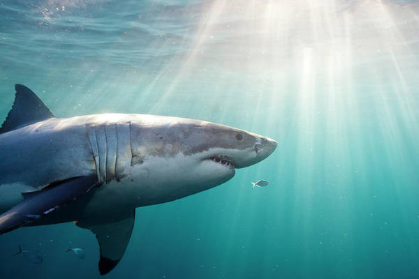 The Great Outdoors Photograph - Great White Shark by Stephen Frink