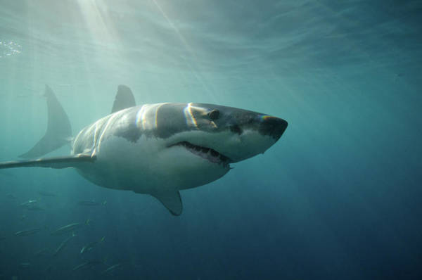 The Great Outdoors Photograph - Great White Shark Swimming Underwater by Gerard Soury