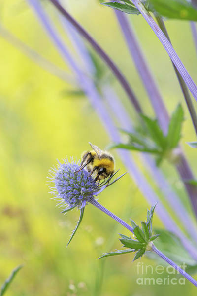Photograph - Male White-tailed Bumblebee On A Tripartite Sea Holly Flower by TimBumblebee feeding on a Tripartite Sea Holly Flower Gainey