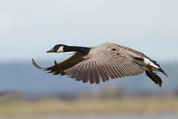 Wall Art - Photograph - Greater Canada Goose Alighting by Ken Archer