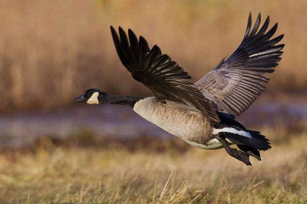 Wall Art - Photograph - Greater Canada Goose Taking by Ken Archer