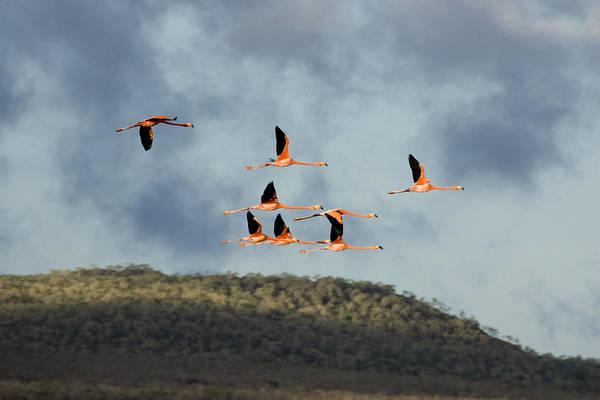 Wall Art - Photograph - Greater Flamingo by David Hosking