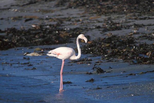 Wall Art - Photograph - Greater Flamingo, Namibia by David Hosking