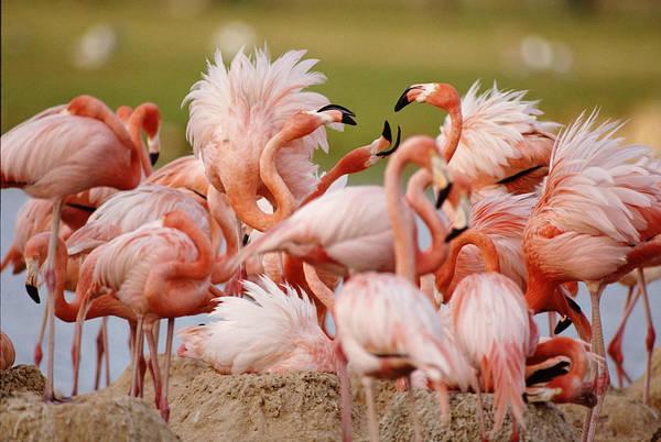 Safari Animal Photograph - Greater Flamingoes  Africa by John Giustina
