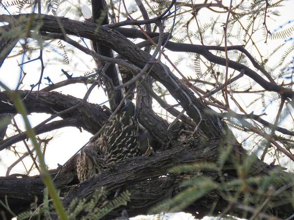 Photograph - Greater Roadrunner Nesting In Mesquite Tree by Judy Kennedy