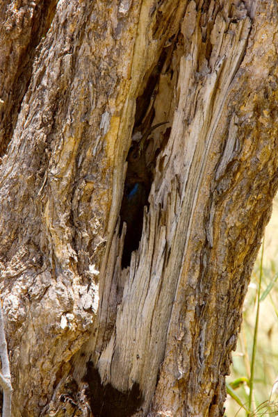 Wall Art - Photograph - Greater Scimitarbill In Nesting Hole by David Hosking