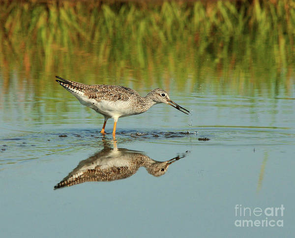 Photograph - Greater Yellowlegs Shorebird by Debbie Stahre
