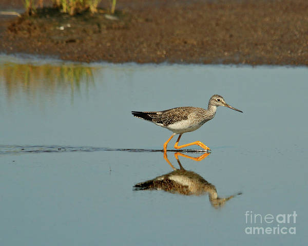 Photograph - Greater Yellowlegs  by Debbie Stahre