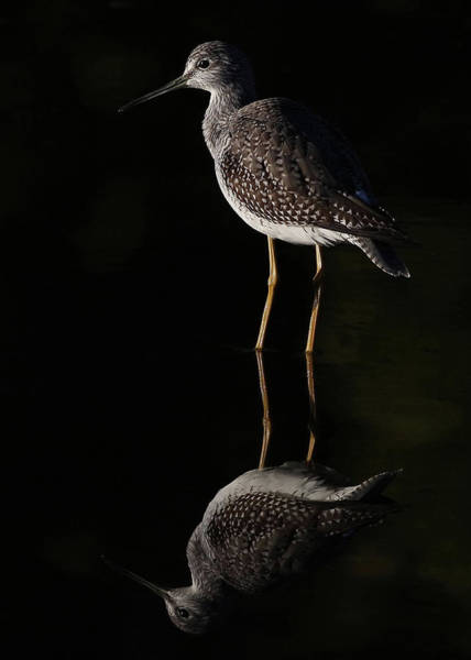Standing Photograph - Greater Yellowlegs Reflects by Jim Cumming