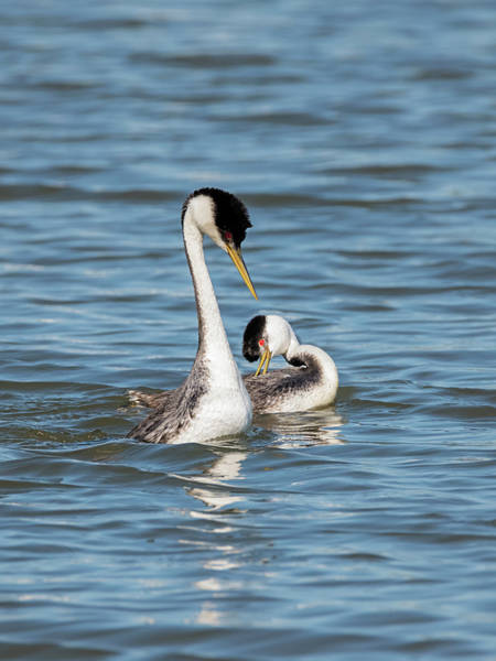 Photograph - Grebes Flirting by Loree Johnson