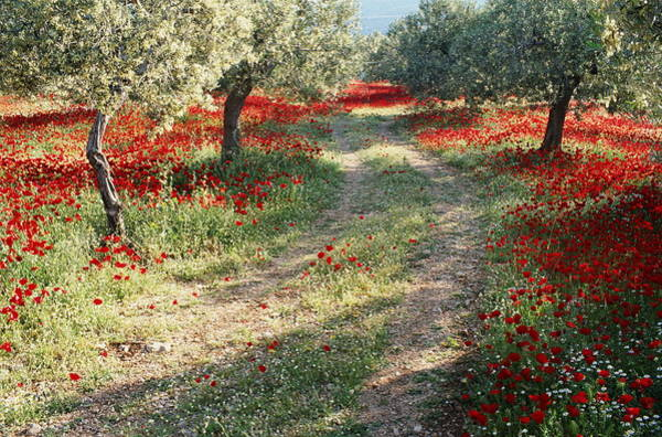 Peloponnese Photograph - Greece, Peloponnese, Poppies And Trees by Peter Adams