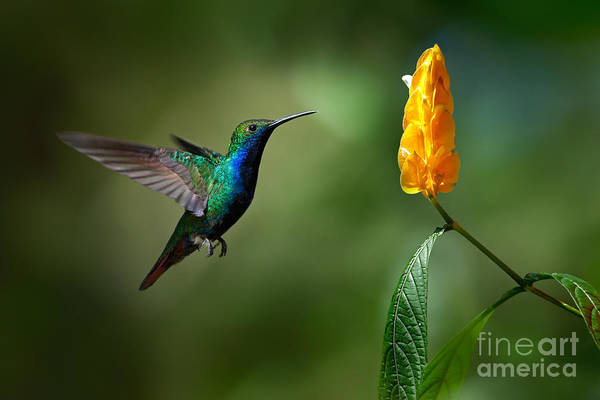 Migration Wall Art - Photograph - Green And Blue Hummingbird by Ondrej Prosicky