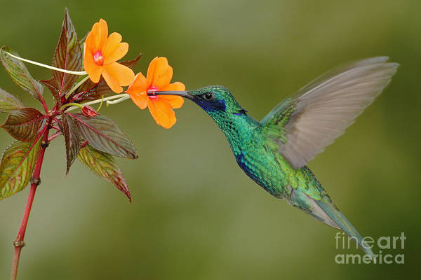 Forest Bird Photograph - Green And Blue Hummingbird Sparkling by Ondrej Prosicky