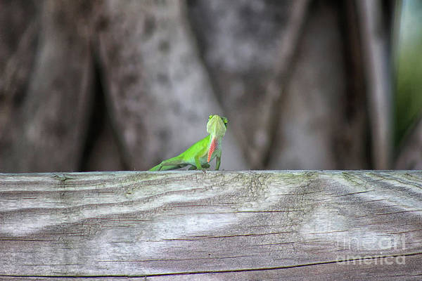 Photograph - Green Anole Lizard Showing Off by Karen Adams