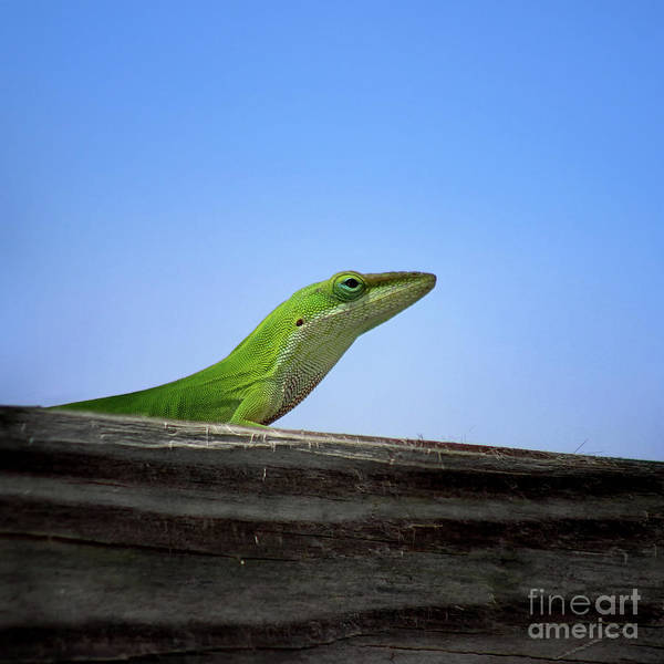 Photograph - Green Anole Lizard Square by Karen Adams