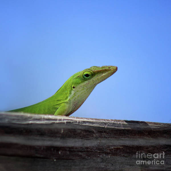 Photograph - Green Anole Lizard Square Two by Karen Adams
