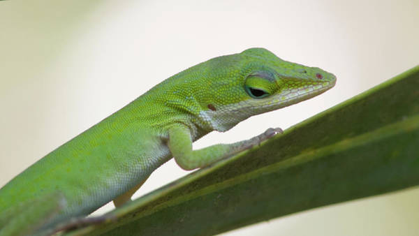 Photograph - Green Anole by Paul Rebmann