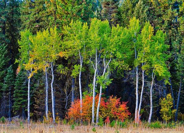 Green Aspens Red Bushes Art Print