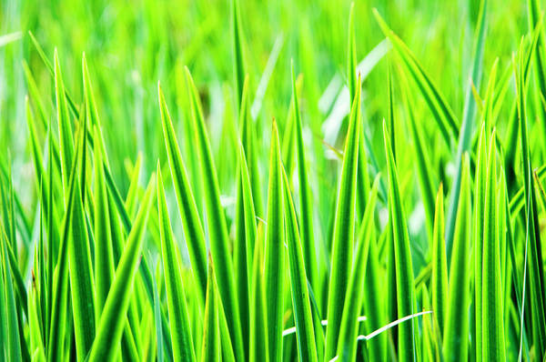 Wall Art - Photograph - Green Blades Of Grass by A.t. I Images