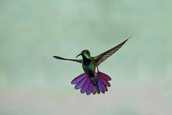 Mangos Photograph - Green-breasted Mango Hummingbird by David Tipling
