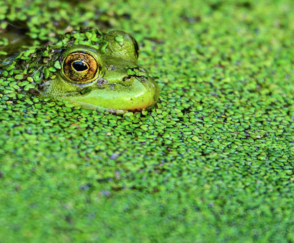Bullfrog Photograph - Green Bullfrog In Pond by Patti White Photography