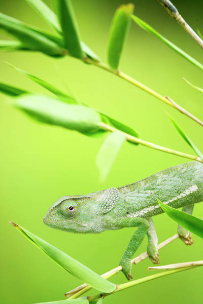 Bamboo Photograph - Green Chameleon In Mozambique by Alex Bramwell