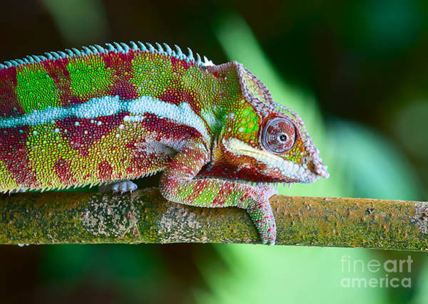 Wall Art - Photograph - Green Chameleon On The Green Grass by Fedor Selivanov