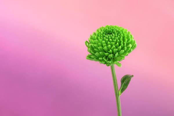 Wall Art - Photograph - Green Chrysanthemum by Svetlana Sewell