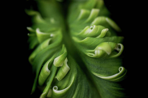 Photograph - Green Curves. Macro Of Super Parrot Tulip by Jenny Rainbow