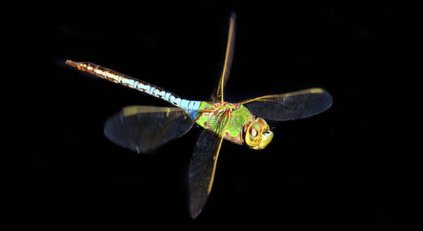 Blue Dragonfly Photograph - Green Darner by Donna Kennedy