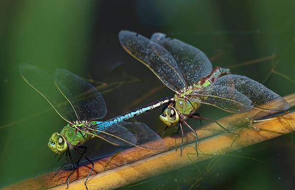 Photograph - Green Darner Dragonfly Mating Wheel by Rick Mosher