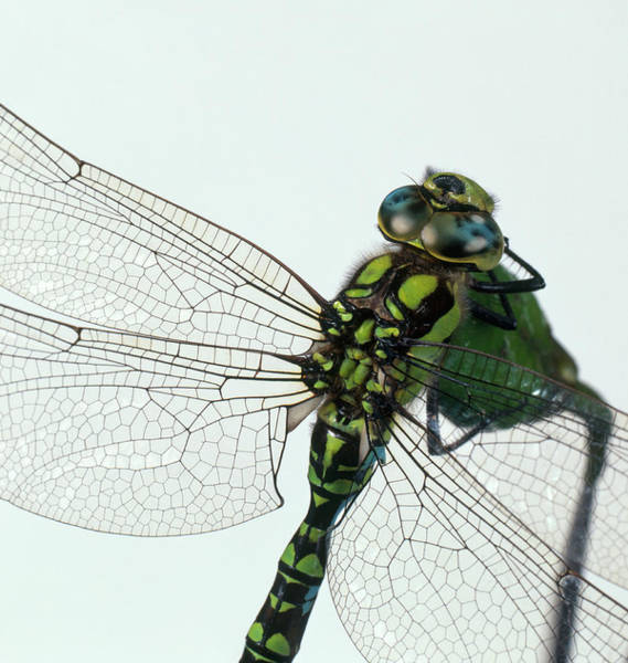 Ugliness Photograph - Green Darner Or Common Green Darner by Frank Greenaway