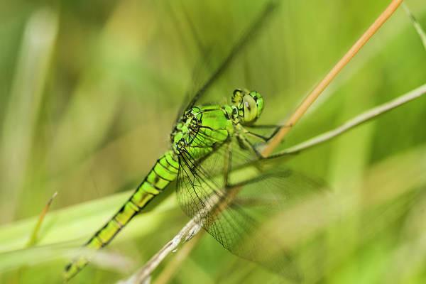 Photograph - Green Darner by Robert Potts