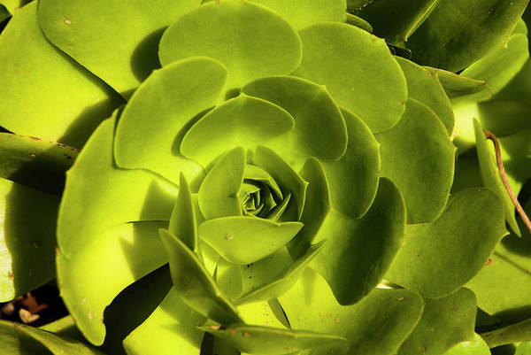 Photograph - Green Echeveria by Yulia Kazansky
